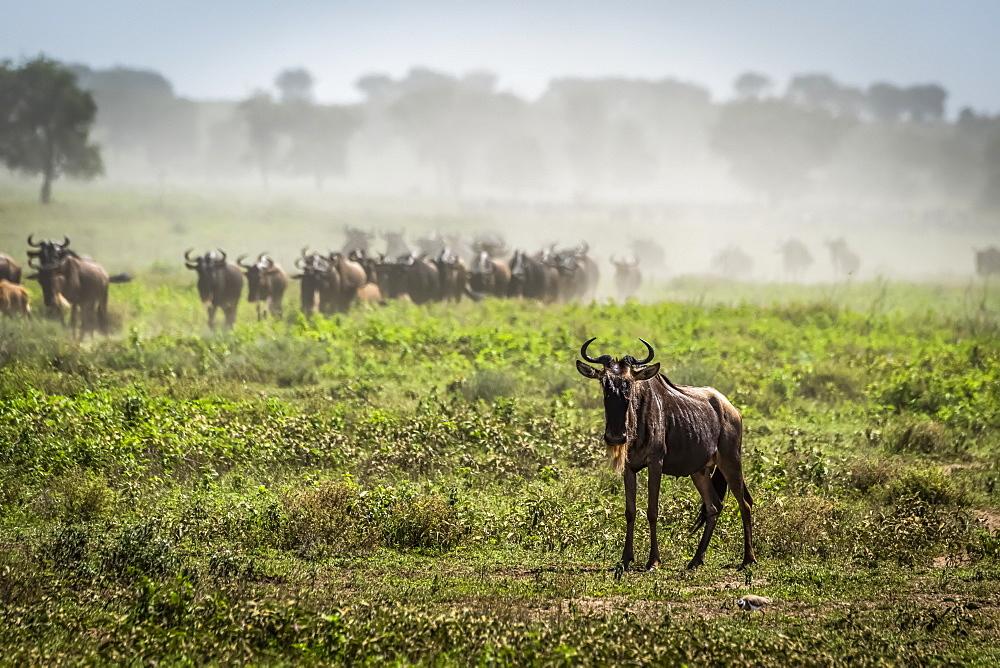 Blue wildebeest (Connochaetes taurinus) on the savannah, Serengeti National Park, Tanzania