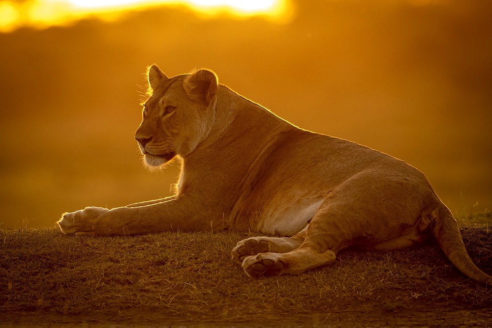 Backlit lioness (Panthera Leo) lies facing left at sunset, Serengeti National Park, Tanzania