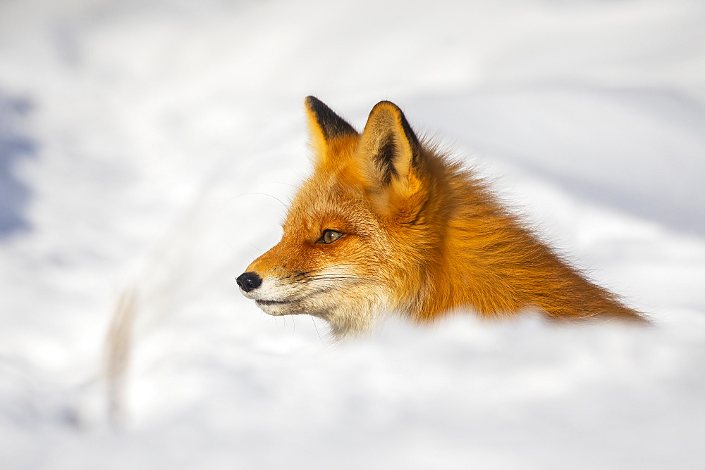 Red fox (Vulpes vulpes) alert in the snow, Alaska, United States of America
