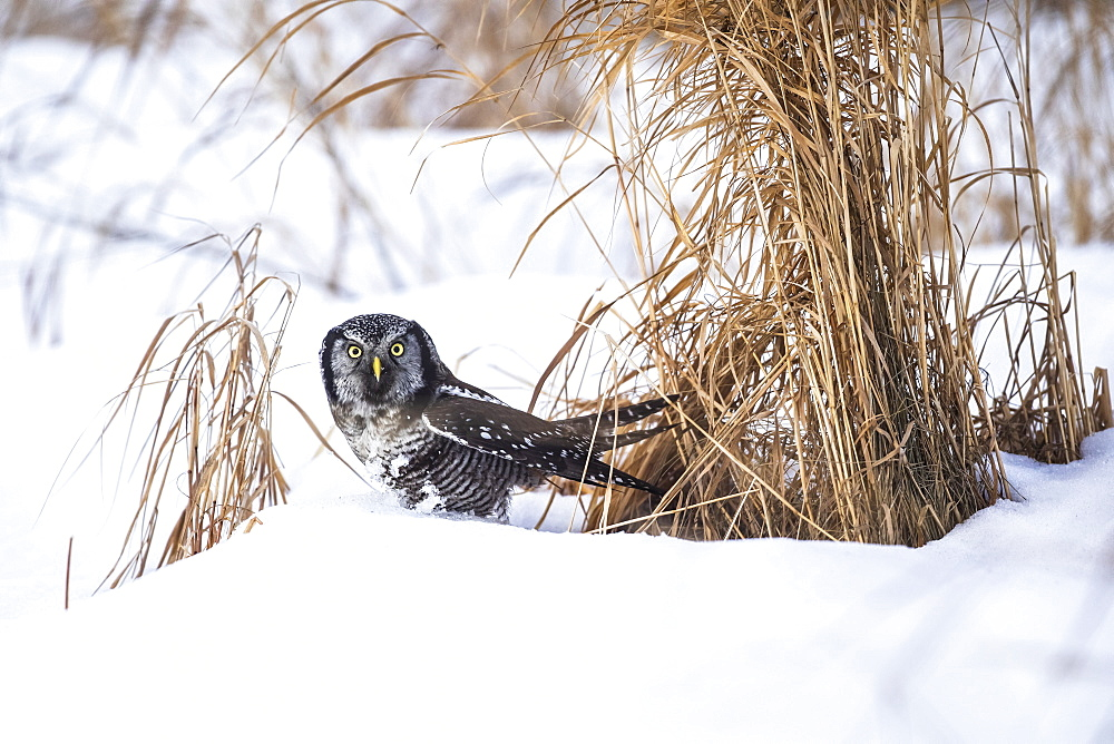 Northern Hawk Owl (Surnia ulula) standing in snow, Alaska, United States of America