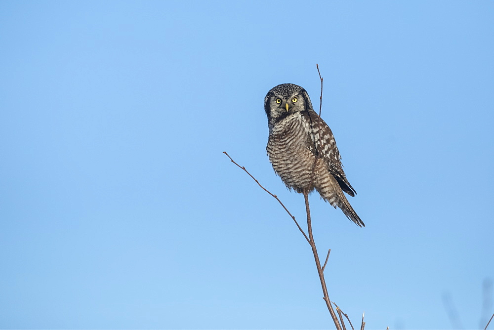 Northern Hawk Owl (Surnia ulula), known for sitting on the highest perch possible while looking for prey such as voles moving below. This one sits on the top of a tree against a blue sky, Alaska, United States of America