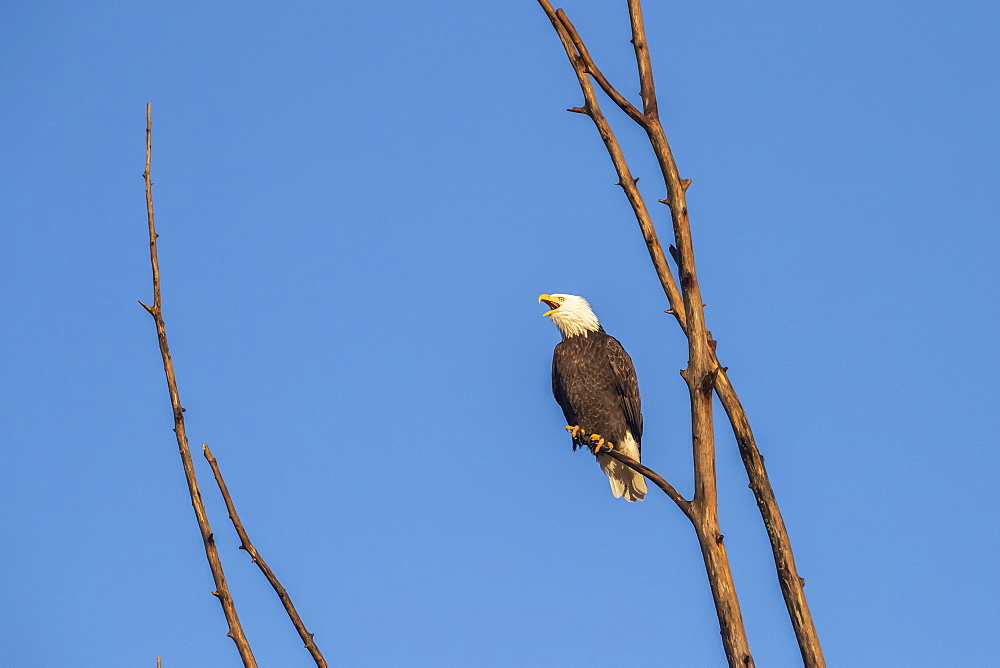Bald eagle (Haliaeetus leucocephalus) calling out while perched in a tree against a blue sky, Alaska, United States of America