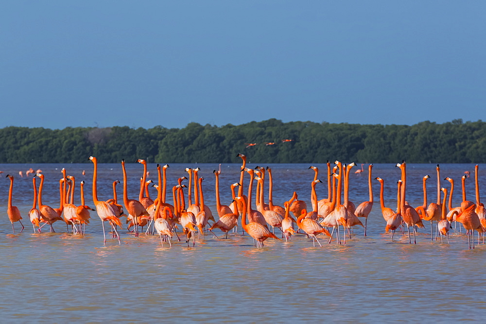 American Flamingos (Phoenicopterus ruber) wading in water, Celestun Biosphere Reserve, Celestun, Yucatan, Mexico