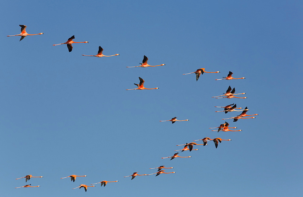 American Flamingos (Phoenicopterus ruber) flying in a V formation, Celestun Biosphere Reserve, Celestun, Yucatan, Mexico