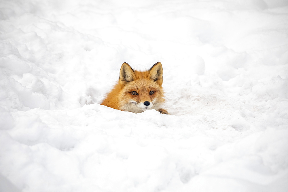 Red fox (Vulpes vulpes) prowls the Campbell Creek area in winter looking for rodents and other food. Fox is shown looking out from a hole that may be a future den, South-central Alaska, Anchorage, Alaska, United States of America
