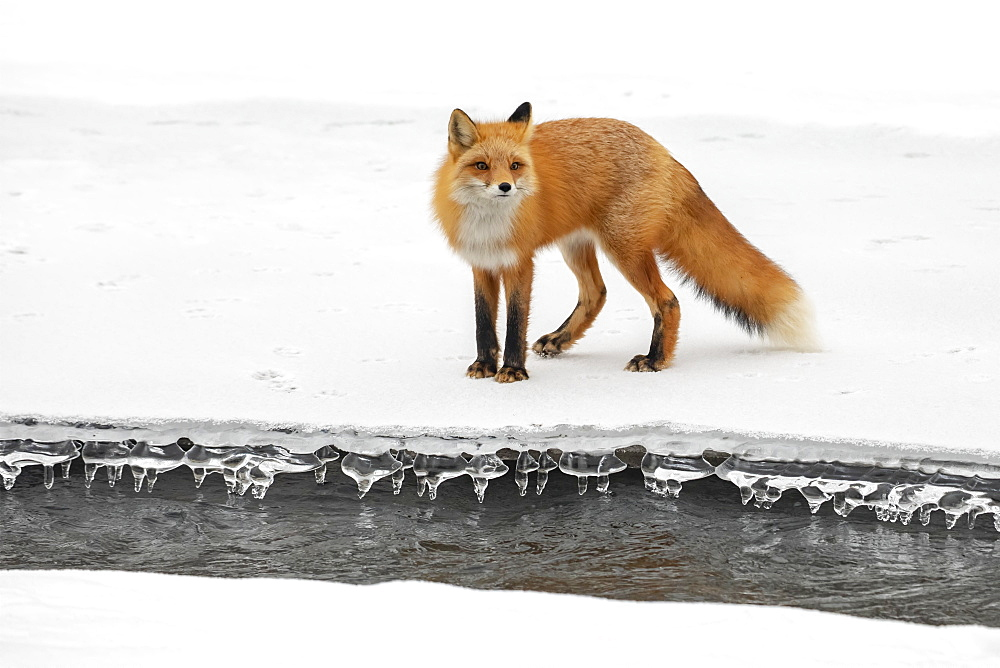 Red fox (Vulpes vulpes) standing on snow in the Campbell Creek area in winter looking for rodents and other food, South-central Alaska, Anchorage, Alaska, United States of America