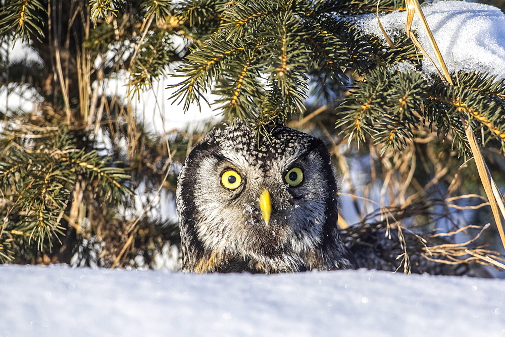Northern Hawk Owl (Surnia ulula), has just made a vole kill and is about to fly back to a perch to consume it. Grass piece has been removed from face. Owl looks at camera. South-central Alaska, Anchorage, Alaska, United States of America