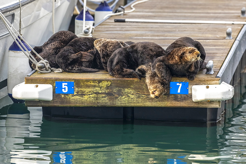 Sea Otters (Enhydra lutris) rest on a dock in the small boat harbour, Seward, Alaska, United States of America