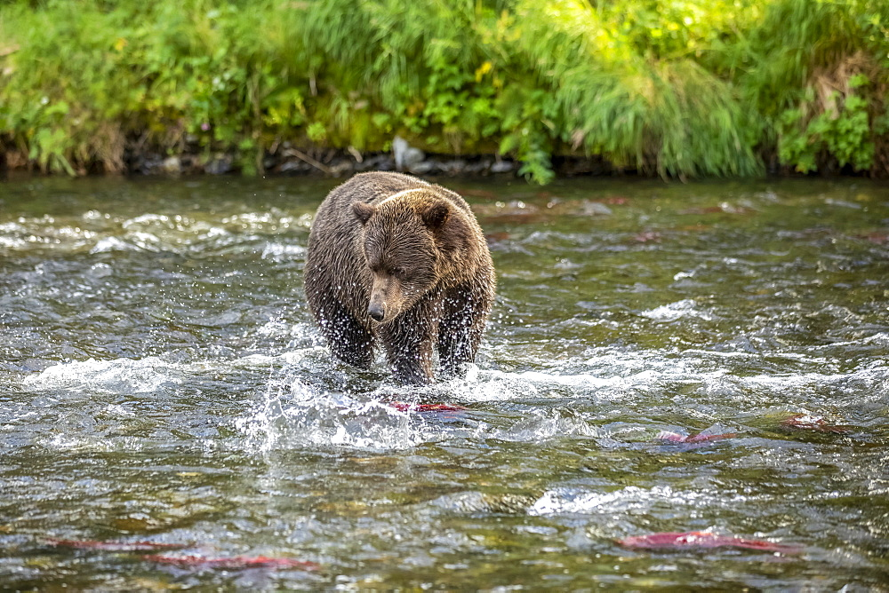 A Brown bear (Ursus arctos) fishes during the summer salmon runs in the Russian River near Cooper Landing, South-central Alaska, Alaska, United States of America