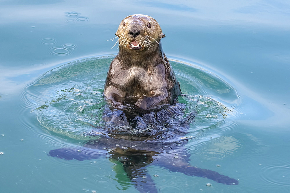 Sea otter (Enhydra lutris) playing and eating in the water near the small boat harbour, Seward, Alaska, United States of America