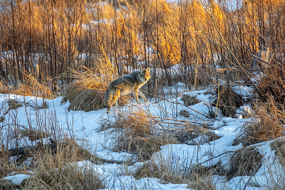 A coyote (Canis latrans) roams through Potter Marsh in Anchorage, Alaska looking for food, South-central Alaska, Anchorage, Alaska, United States of America