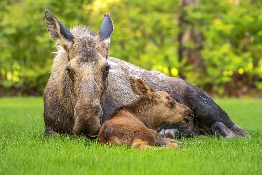 Cow moose (Alces alces) with calf rests on green grass in East Anchorage, Alaska's State mammal, South-central Alaska, Alaska, United States of America