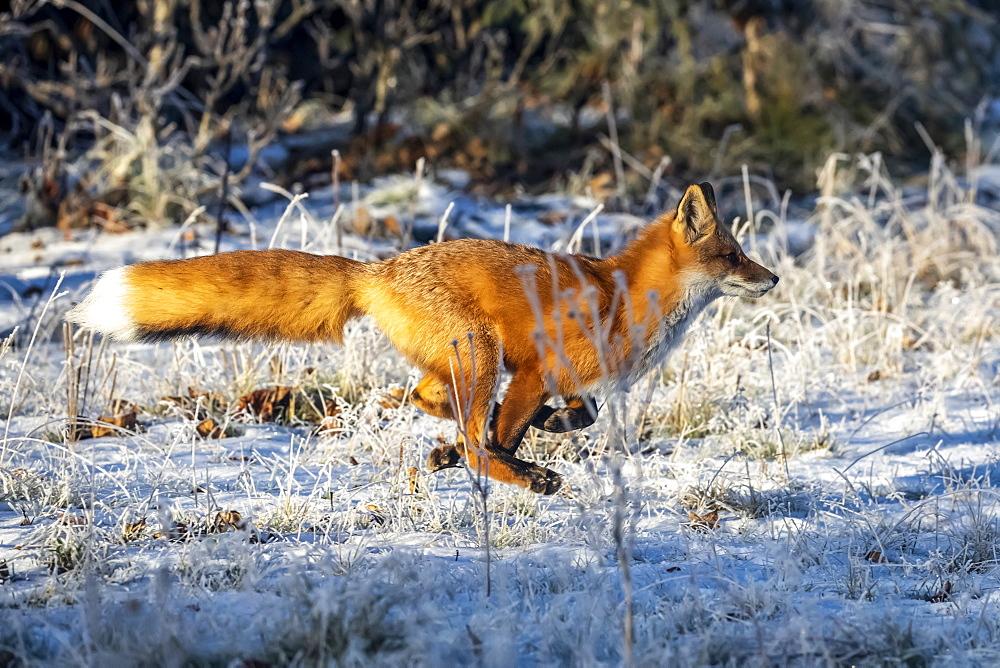 Red fox (Vulpes vulpes) at full run in snow, Campbell Creek area, South-central Alaska, Alaska, United States of America