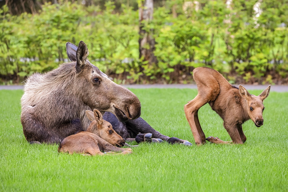 Cow moose (Alces alces) with calves rests on green grass in East Anchorage, Alaska's State mammal, South-central Alaska, Alaska, United States of America