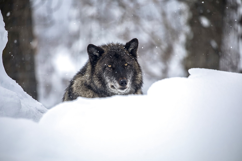 A male Wolf (Canis lupus) rests in the snow and looks at camera, Alaska Wildlife Conservation Center, South-Central Alaska, Portage, Alaska, United States of America