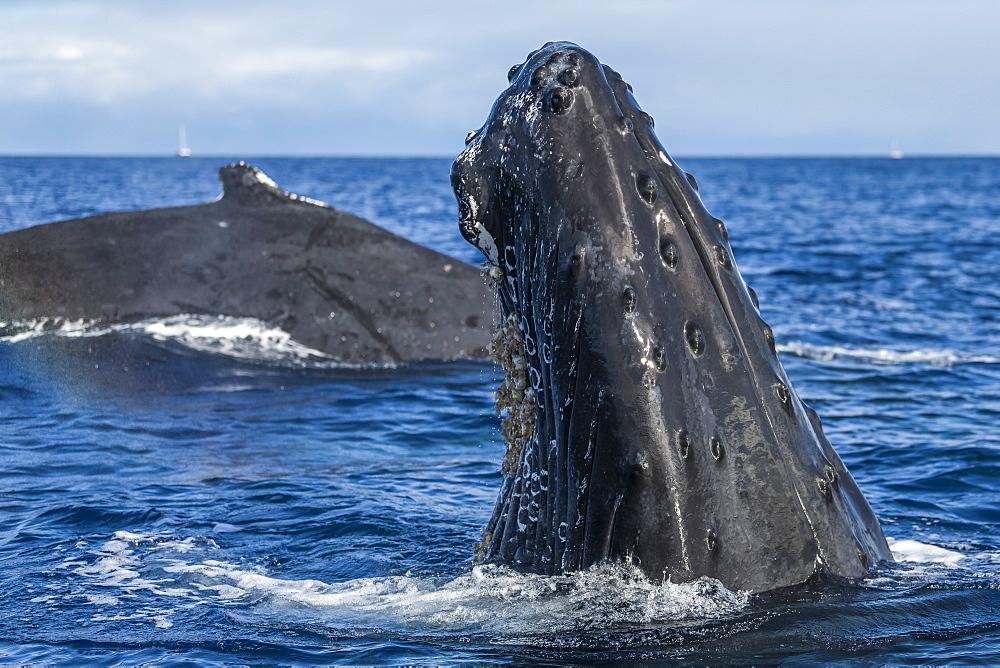 Humpback whale (Megaptera novaeangliae) spyhopping, Lahaina, Maui, Hawaii, United States of America