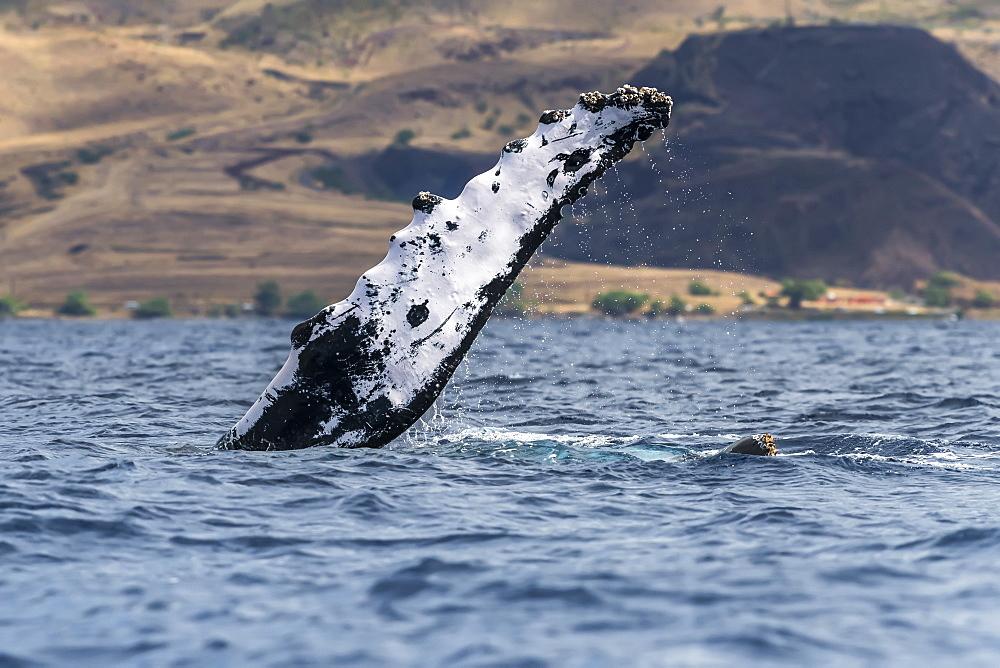 Humpback whale (Megaptera novaeangliae) pectoral fin, Lahaina, Maui, Hawaii, United States of America