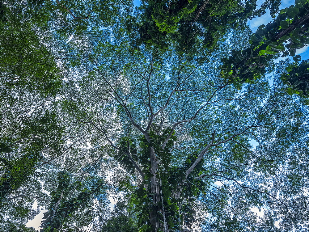 Looking up into the canopy of trees in the lush rainforests of Oahu, Oahu, Hawaii, United States of America