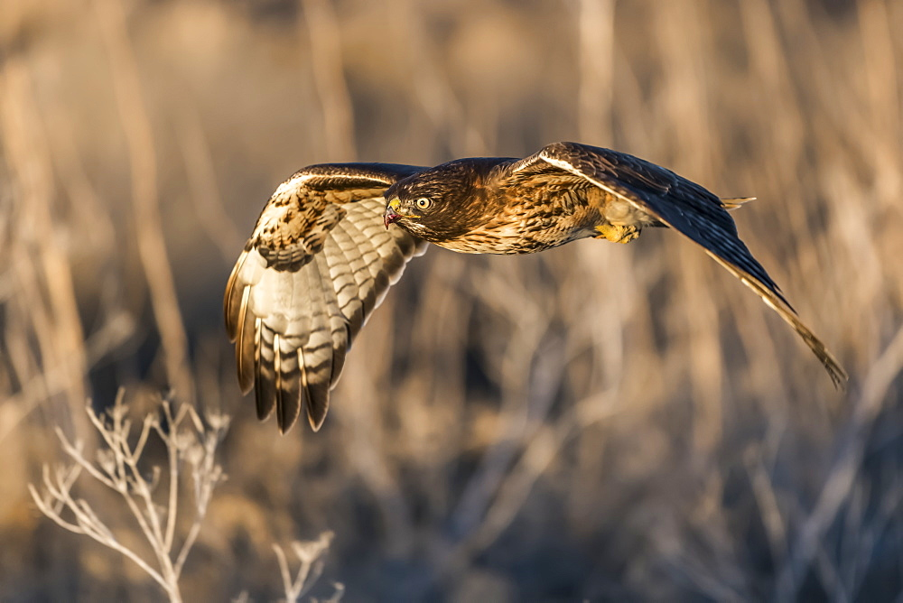 Red-tailed hawk (Buteo jamaicensis) in flight, Klamath Basin National Wildlife Refuge, Merrill, Oregon, United States of America