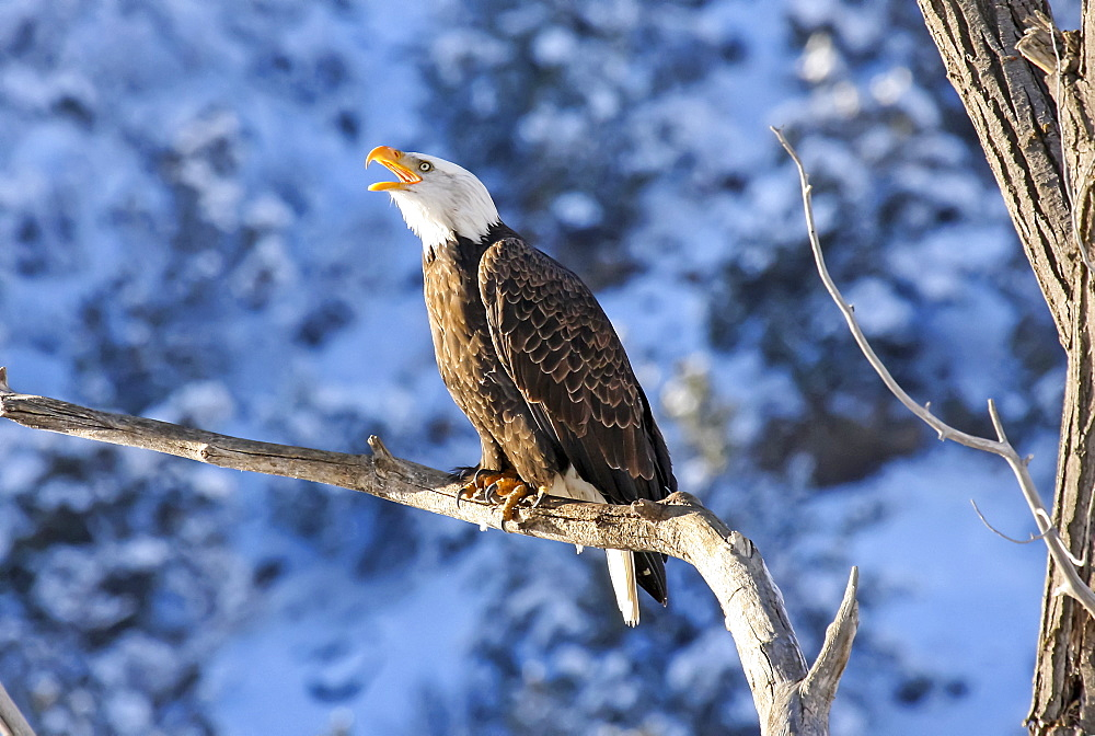 American Bald Eagle (Haliaeetus leucocephalus) perched on a tree branch calling, Colorado, United States of America