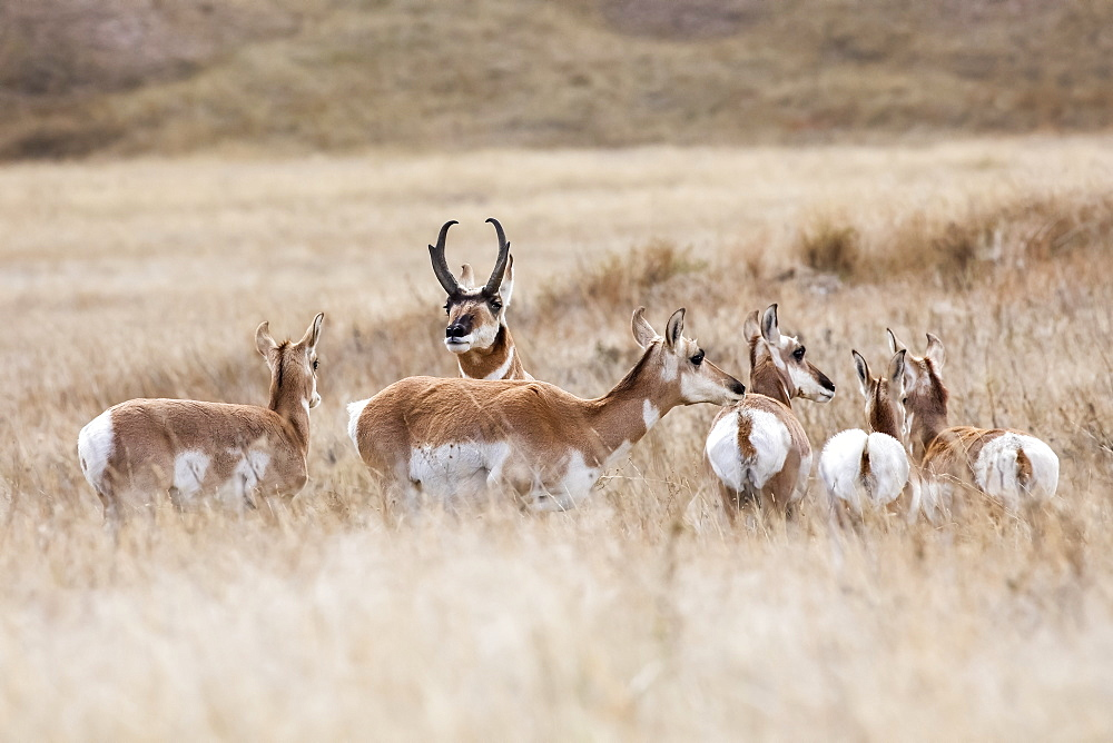 Pronghorn (Antilocapra americana) standing in a grass field, Custer, South Dakota, United States of America