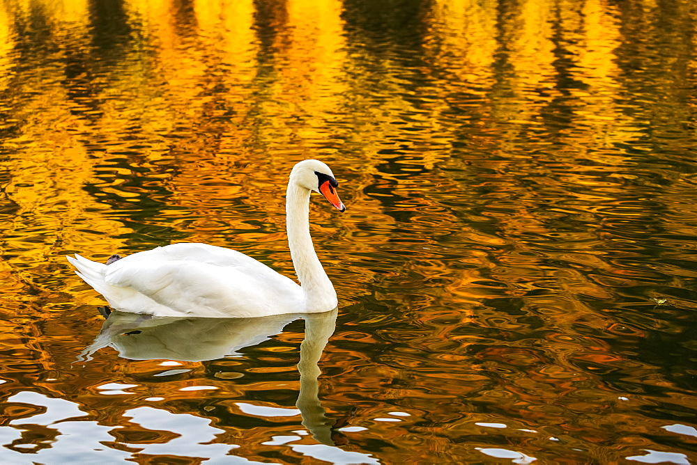 A white swan (Cygnus) in a river with a colourful golden reflection, Bernkastel, Germany