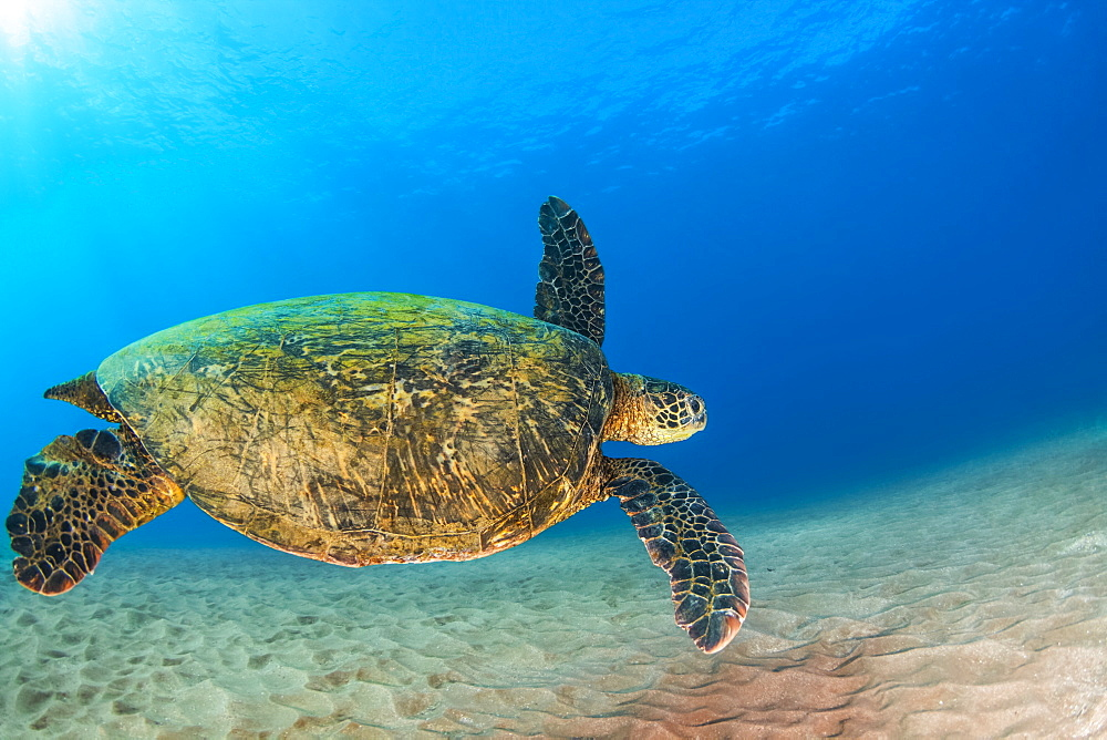 A young Green sea turtle (Chelonia mydas) swims down to reef after taking a break at the surface, Makena, Maui, Hawaii, United States of America