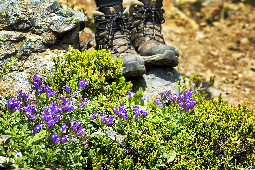 Purple wildflowers along a rocky pathway with hikers boots in the background, British Columbia, Canada