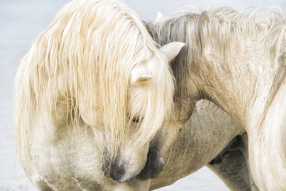 Camargue horses nuzzling each other, Camargue, France
