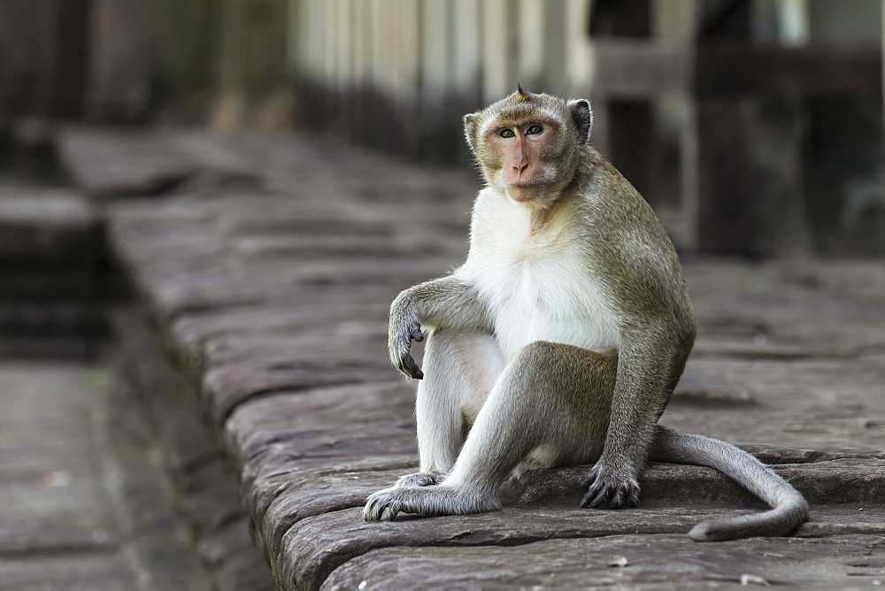Long-tailed macaque sits on wall looking up, Can Gio, Ho Chi Minh, Vietnam