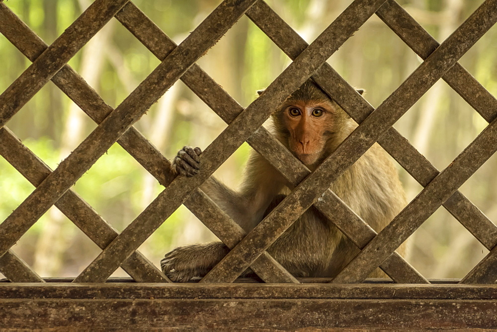 Close-up of long-tailed macaque sits behind wood trellis window, Can Gio, Ho Chi Minh, Vietnam - 1116-47822