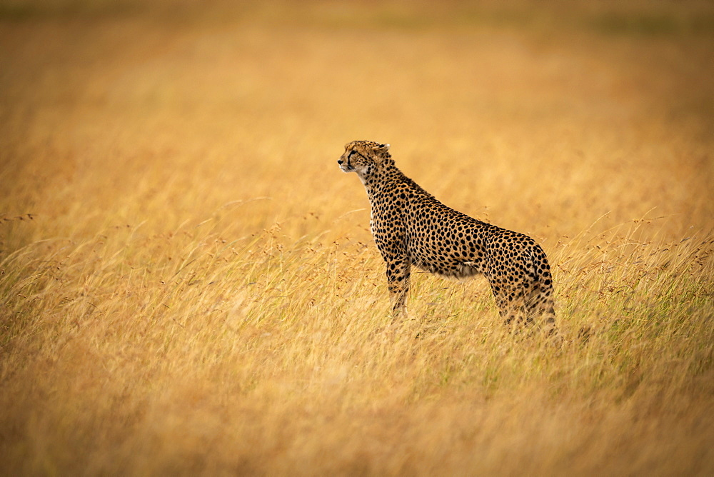 Cheetah (Acinonyx jubatus) stands on mound in long grass, Maasai Mara National Reserve, Kenya