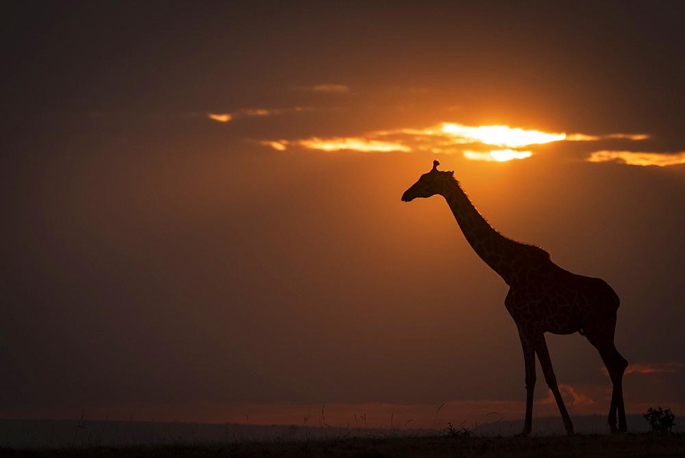 Backlit Masai giraffe (Giraffa camelopardalis tippelskirchii) on horizon at sunset, Maasai Mara National Reserve, Kenya
