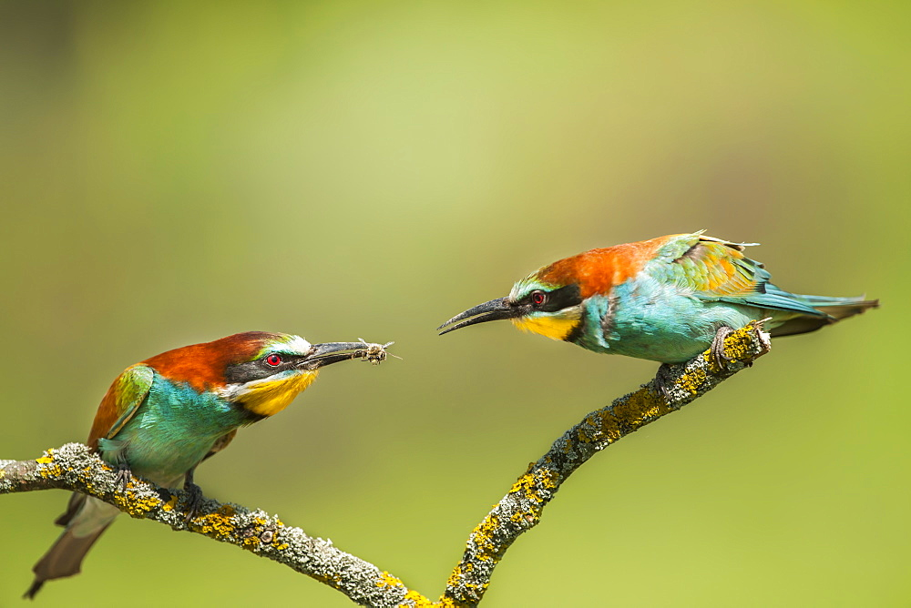 European bee-eaters (Merops apiaster) perched on a branch, one with an insect in it's mouth, Pusztaszer, Hungary
