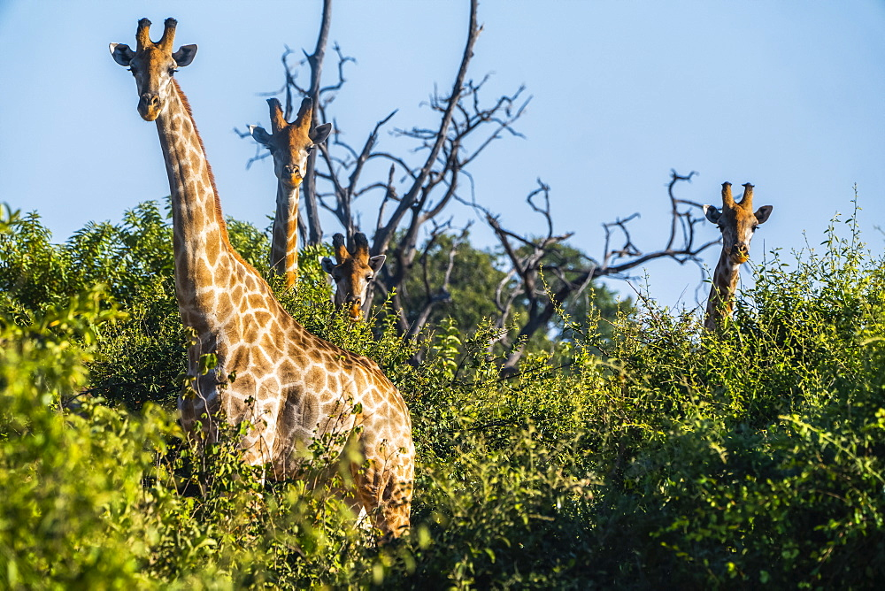 Giraffes standing in the trees looking towards the camera, Botswana