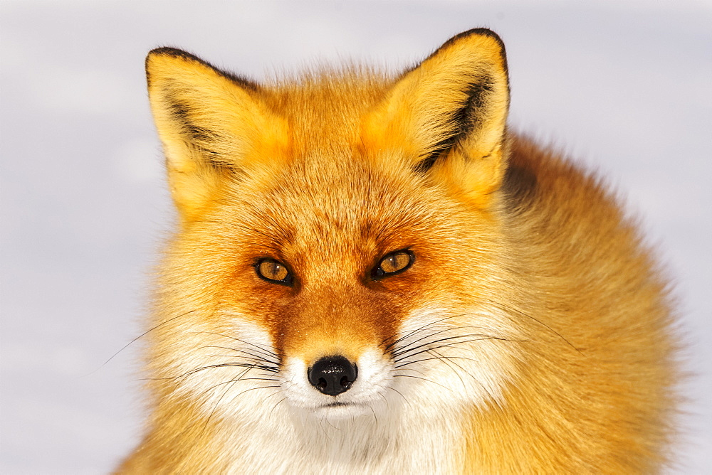 Close-up of a fox, Nemuro Peninsula, Japan