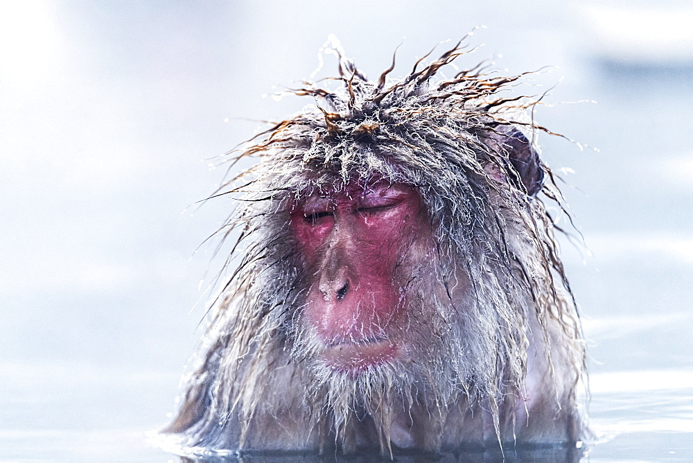 Snow monkey (Macaca fuscata) in the rain, Nagano, Chubu region, Japan