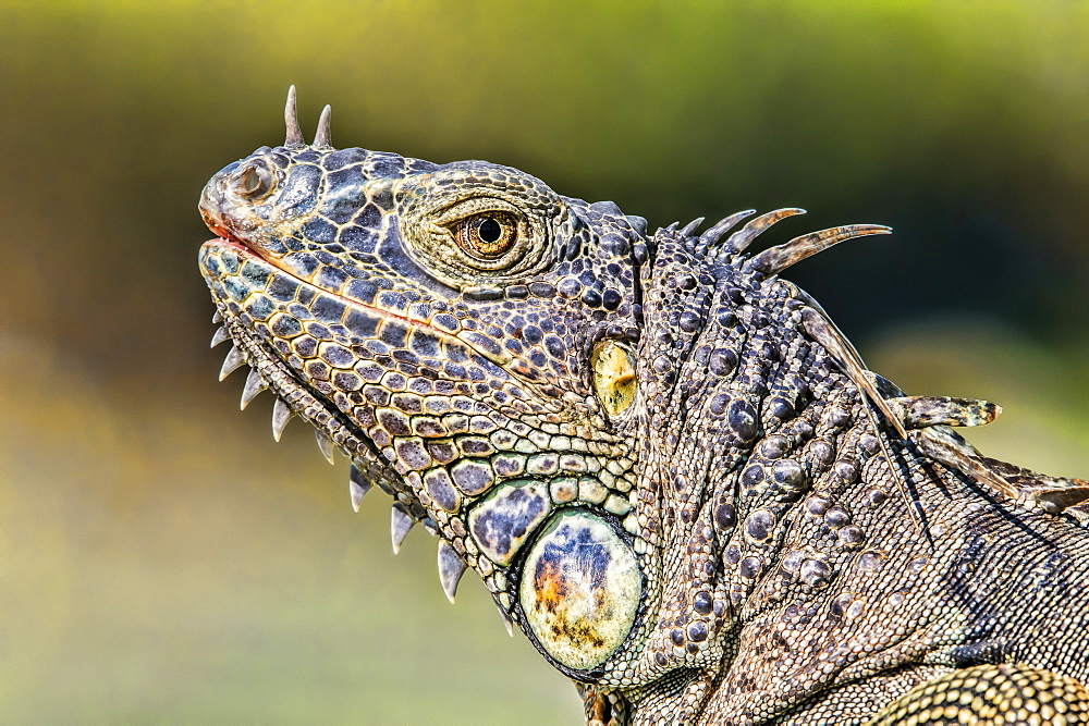 Close-up of the details of the colourful head of an iguana, Corozal Bay, Belize
