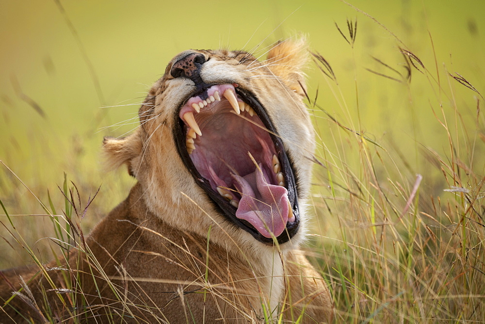 Lioness (Panthera leo) lying in long grass yawns widely, Maasai Mara National Reserve, Kenya
