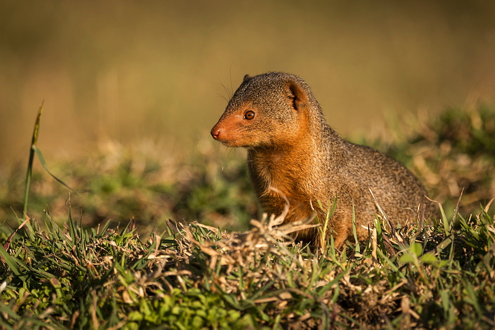 Dwarf mongoose (Helogale parvula) sits in grass looking left, Maasai Mara National Reserve, Kenya