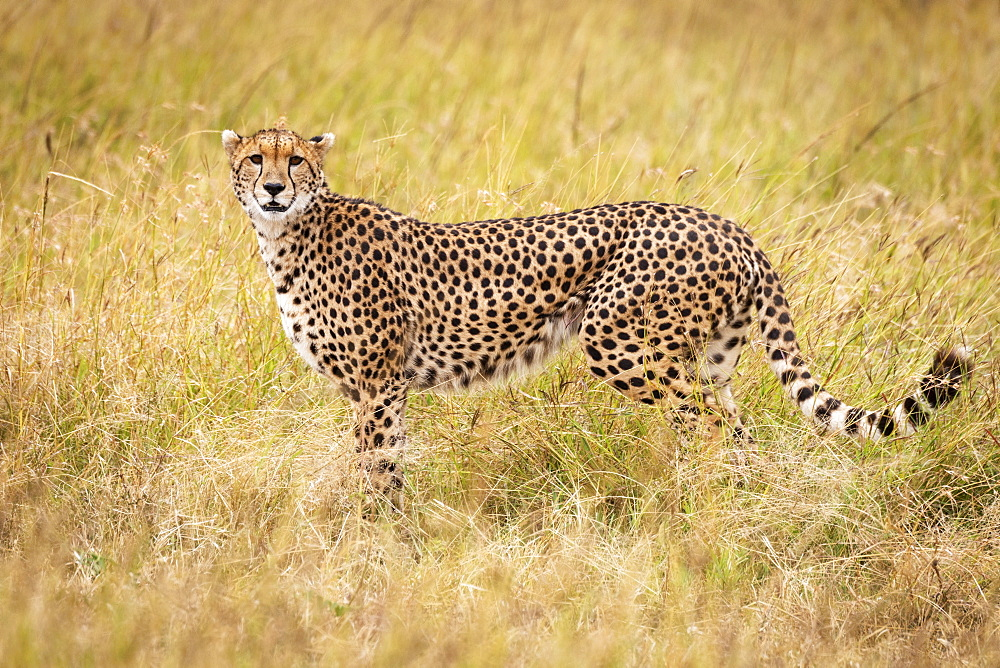 Cheetah (Acinonyx jubatus) stands in profile in long grass, Maasai Mara National Reserve, Kenya