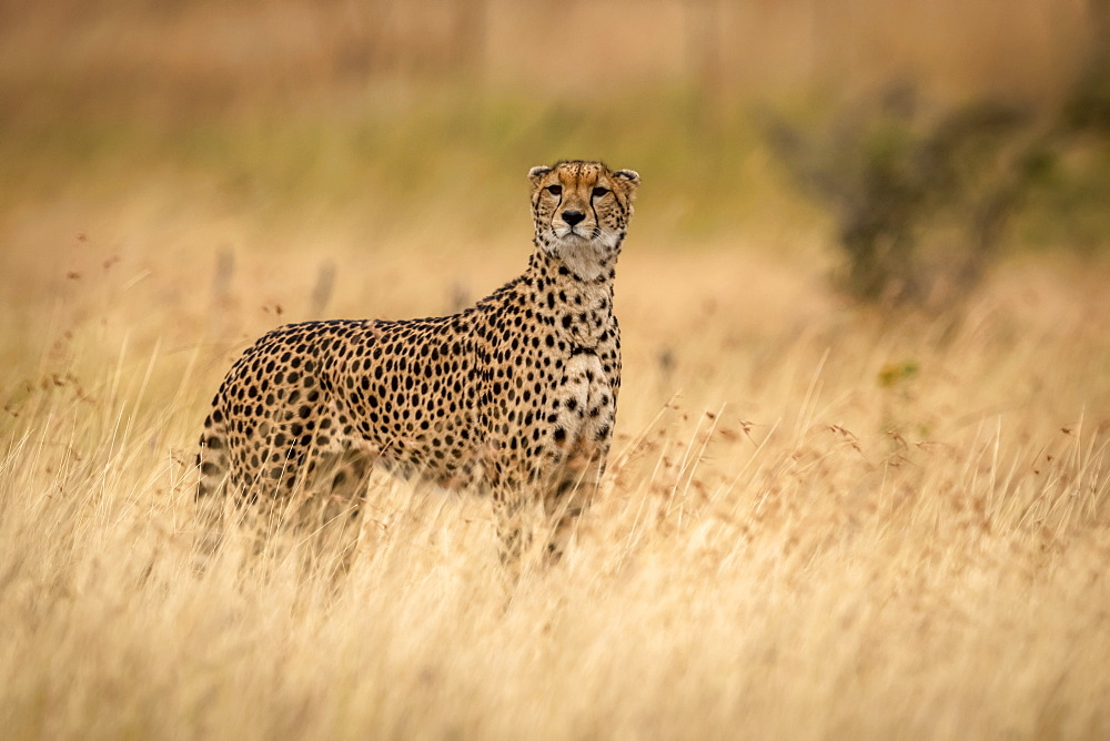 Cheetah (Acinonyx jubatus) stands in grass with head raised, Maasai Mara National Reserve, Kenya