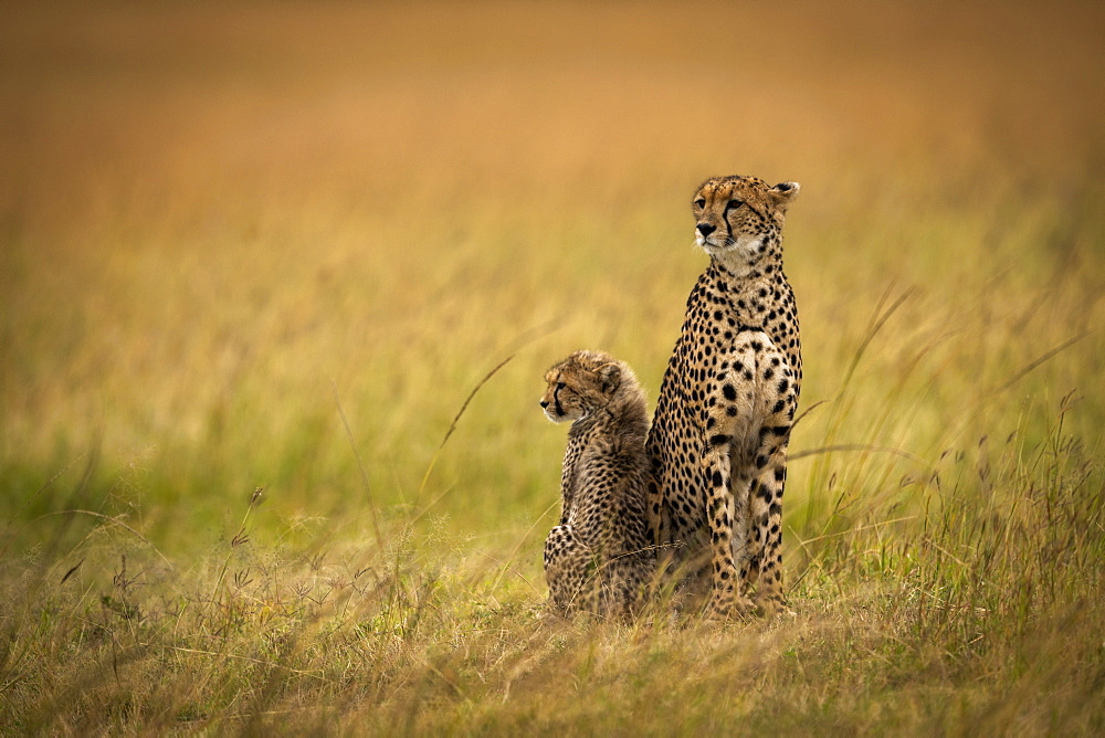 Cheetah (Acinonyx jubatus) sits side-by-side with cub in grass, Maasai Mara National Reserve, Kenya