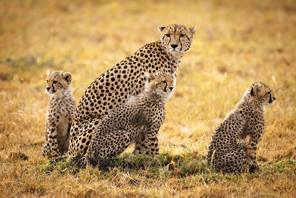 Cheetah (Acinonyx jubatus) sits in grass with three cubs, Maasai Mara National Reserve, Kenya