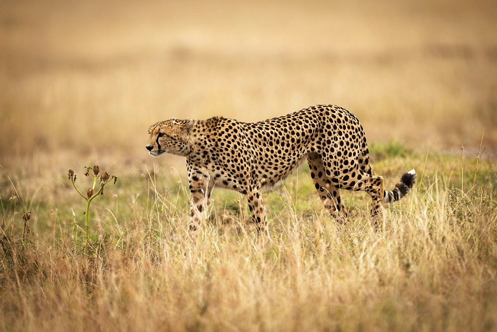 Cheetah (Acinonyx jubatus) on savannah walks through long grass, Maasai Mara National Reserve, Kenya