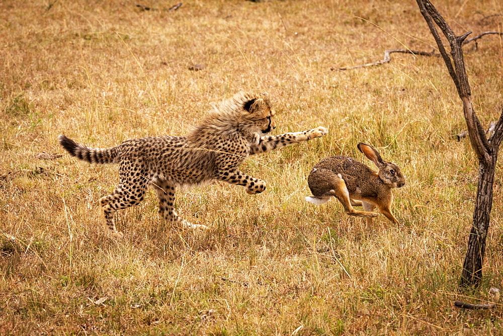 Cheetah (Acinonyx jubatus) cub chasing scrub hare (Lepus saxatilis), Maasai Mara National Reserve, Kenya