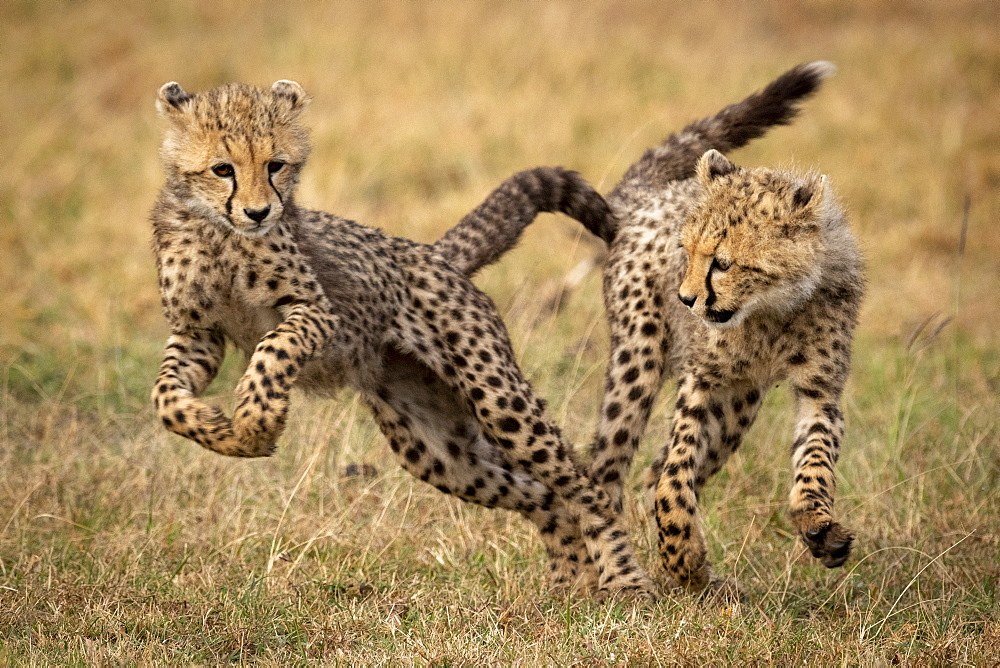 Cheetah cub (Acinonyx jubatus) jumps away from it's sibling, Maasai Mara National Reserve, Kenya