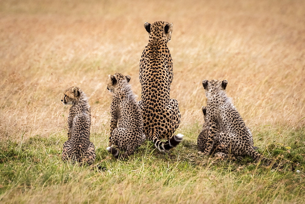 Cheetah (Acinonyx jubatus) and four cubs facing away, Maasai Mara National Reserve, Kenya