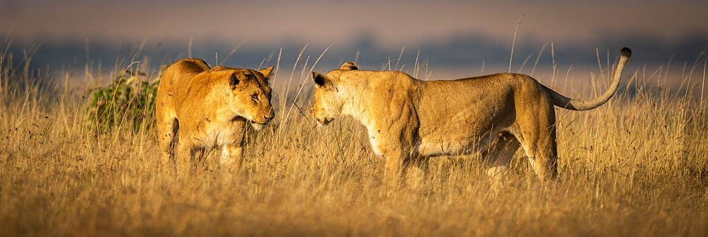 Two lionesses (Panthera Leo) greeting each other in grass, Maasai Mara National Reserve, Kenya