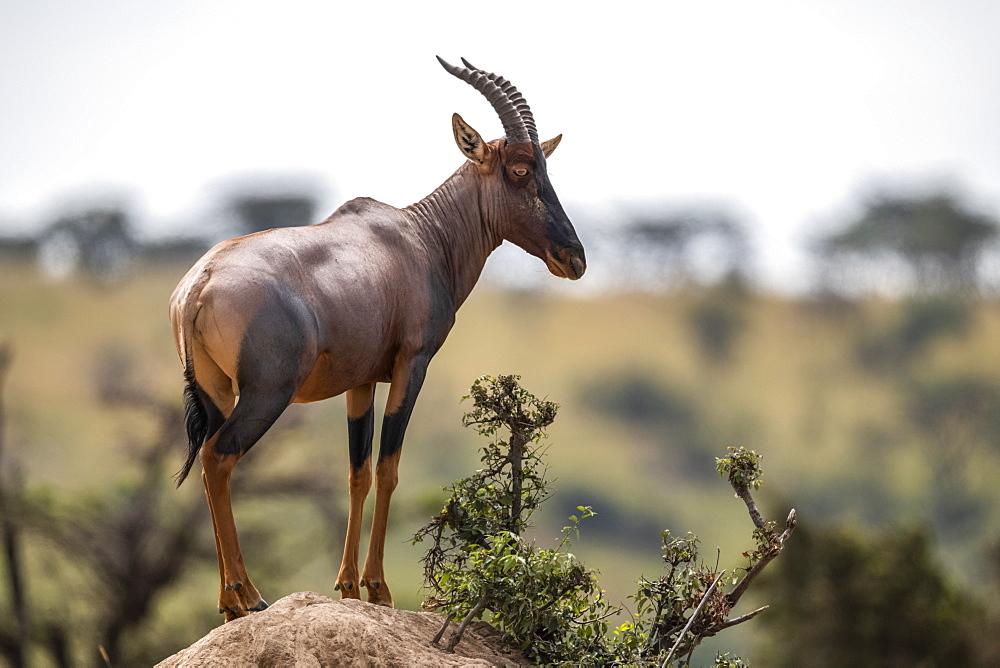 Topi (Damaliscus lunatus jimela) stands on rocky mound eyeing camera, Maasai Mara National Reserve, Kenya
